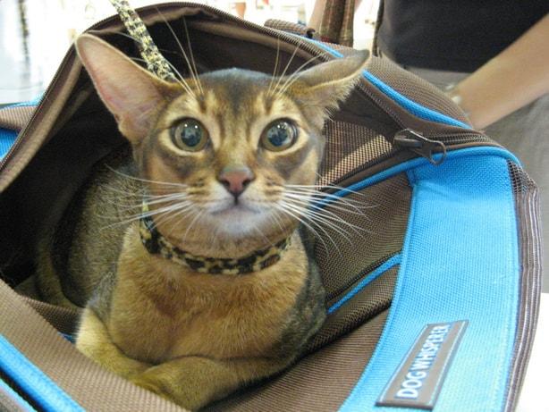 13400 original - Выставка кошек 2010
