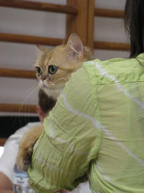 14430 original - Выставка кошек 2010