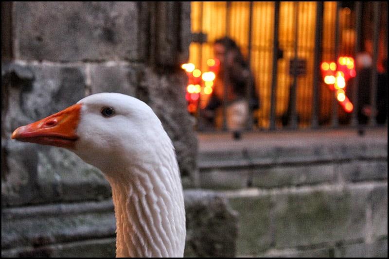 IMG 2472 - Кафедральный собор Барселоны, или 13 белых гусей