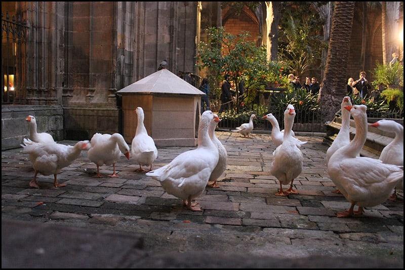 IMG 2474 - Кафедральный собор Барселоны, или 13 белых гусей