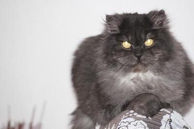 Кот Шуки